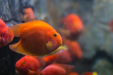 cichlasoma: Love heart blood parrot cichild fish in aquarium