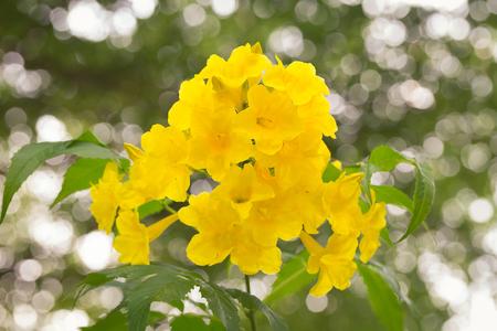 Yellow Trumpetbush flower on bokeh background Stock Photo