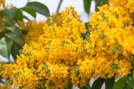Burma padauk blooming on tree, yellow flowers Stock Photo