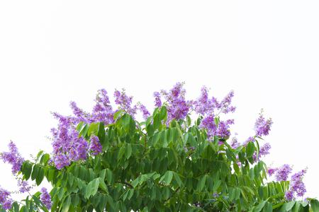 Lagerstroemia floribunda or also known as Thai crape myrtle and kedah bungor