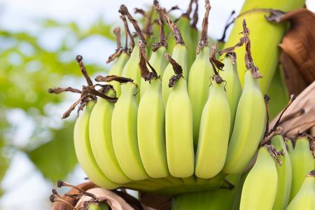 Unripe bananas on tree in the rainforest