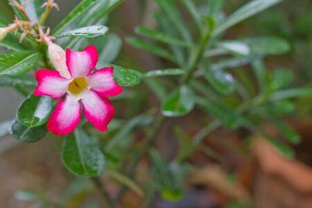 adenium: adenium flower1