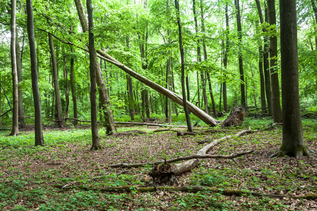 fallen tree: Uprooted Tree In A Forest Stock Photo