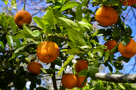 foot of orange charged of fruit getting light of the sun blue sky with the fund Stock fotó