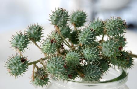 ricin: graines de ricin