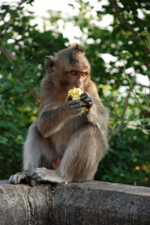 Macaques Thai monkey around the temple photo