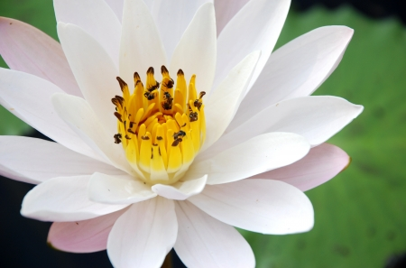 Water lily  scent of Asian exotic flower  photo