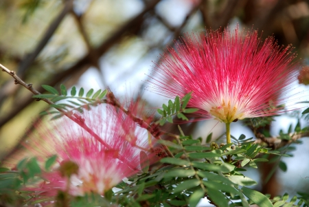 powder puff: Red head powder puff Flower Scent of Asian exotic flower