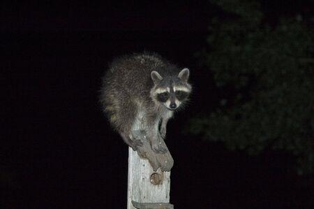 feeder: Raccoon atop a bird feeder