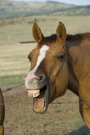 piebald: Caballo con su boca abierta