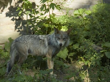Mexican Wolf in the Brush