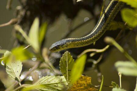 Groene Gartner Snake Stockfoto