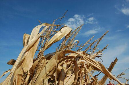 tassles: Corn Tassles in Sky Stock Photo