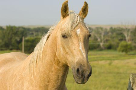 Blonde Paard