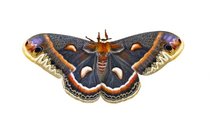 moths: Cecropia Moth Isolated