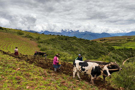 Maras, Peru - December 23, 2013: A Peruvian family plowing the land close to the Moray Inca Terraces, near Maras, in the Sacred Valley, Peru. The Moray terraces are an archaeological site where the Incas built circular terraces believed to be used for stu
