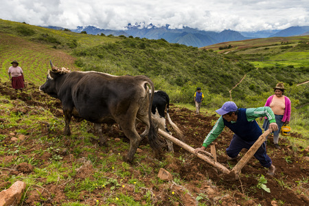 stu: Maras, Peru - December 23, 2013: A Peruvian family plowing the land close to the Moray Inca Terraces, near Maras, in the Sacred Valley, Peru. The Moray terraces are an archaeological site where the Incas built circular terraces believed to be used for stu