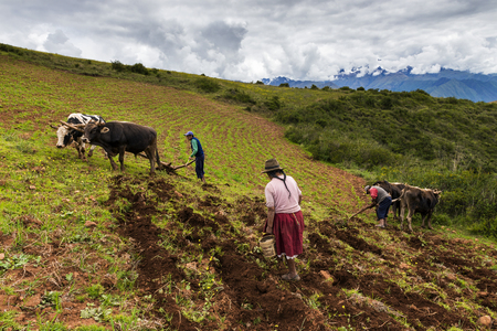 sacred valley: Maras, Peru - December 23, 2013: A Peruvian family plowing the land close to the Moray Inca Terraces, near Maras, in the Sacred Valley, Peru. The Moray terraces are an archaeological site where the Incas built circular terraces believed to be used for stu