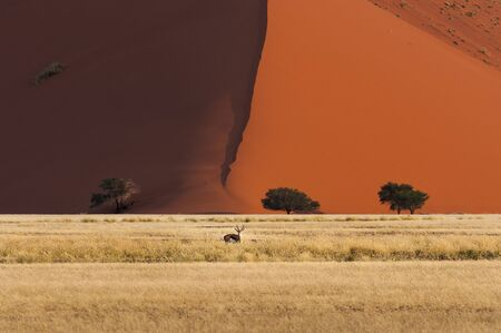 springbok: One springbok standing in front of a red dune in Sossusvlei, Namibia, Africa Stock Photo