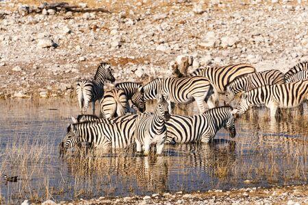 at waterhole: Manada de cebras en un pozo de agua en Namibia