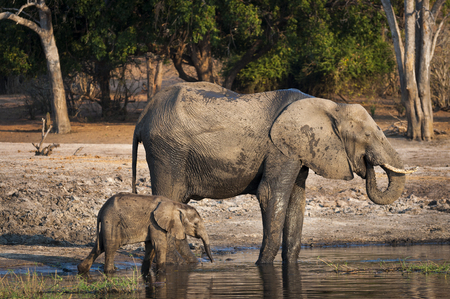 chobe: One elephant and its cub drinking water in the Chobe River, Chobe National Park, in Botswana, Africa