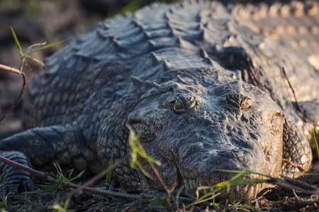 chobe: Nile crocodile in the banks of the Chobe river, Chobe National Park, in Botswana, Africa; Concept for safari travel and travel in Africa Stock Photo