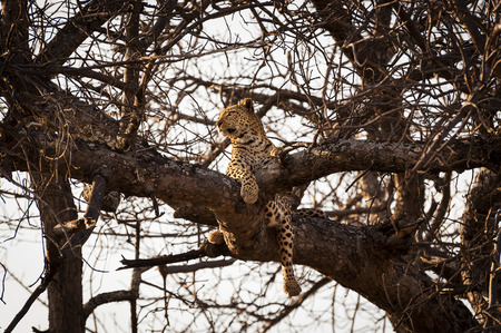 okavango delta: Leopard resting in the branches of a tree in the Okavango Delta, in Botswana, Africa; Concept for travel safarin and travel in Africa