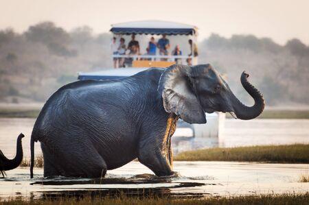 Tourist beobachten einen Elefanten einen Fluss im Chobe Nationalpark in Botswana, Afrika kreuzen; Konzept für Reise-Safari und Reise in Afrika Standard-Bild