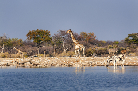 pozo de agua: Group of wild animals near a waterhole in the Etosha National Park, in Namibia; Concept for travel in Africa and safari