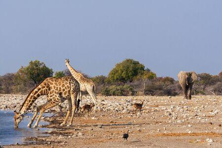 animales safari: Grupo de animales salvajes cerca de una charca en el Parque Nacional de Etosha, en Namibia; Concepto de viajes en África y Safari Foto de archivo