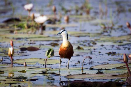 jacana: African Jacana in the Chobe River, Chobe National Park in Botswana, Africa