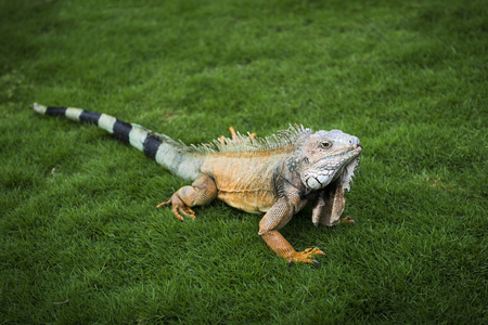 Iguana in the grass in a park in Guayaquil in Ecuador, South America
