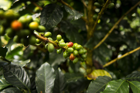 planta de cafe: Detail of a coffee plant in an organic coffee farm in Salento, Colombia, South America