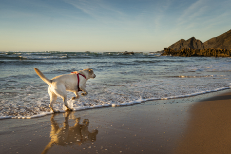 White Labrador running in the water in Amoreira Beach in Alentejo, Portugal; Concept for travel in Portugal