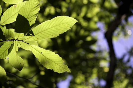 chestnut tree: Chestnut tree leaves