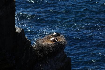 Cegonhas aninham-se em uma rocha