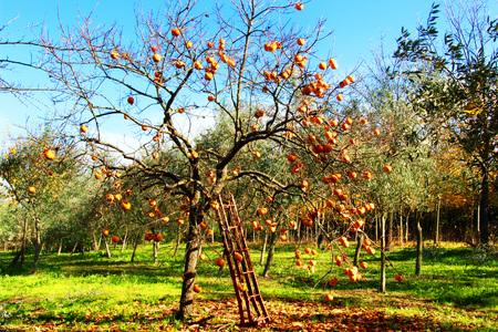 naranja arbol: árbol de naranja con escalera