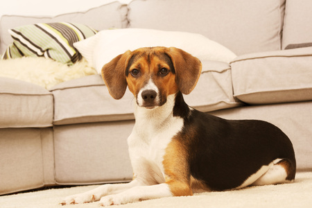 russet: Pretty puppy in living room