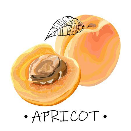 Apricot on a white background. Half a ripe apricot with a bone. Vector illustration. Ilustração