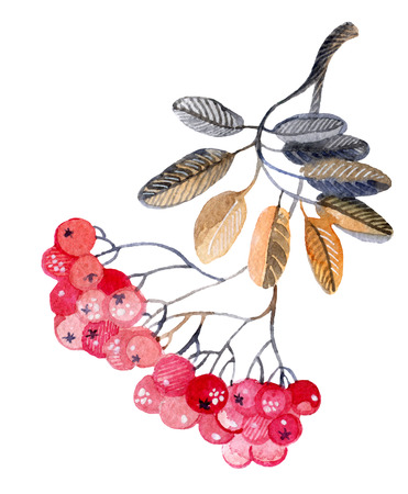 Watercolor rowan branch for winter background. Hand painted illustration