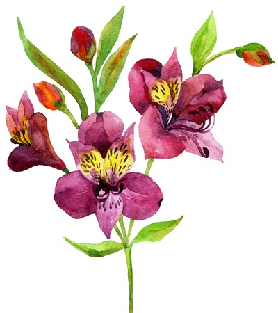 Hand painted pink alstroemeria. Watercolor illustration