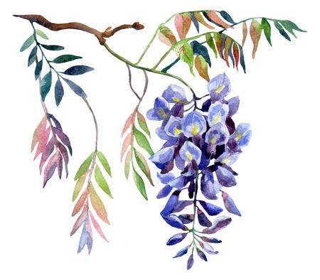 Flor de las glicinias. Tarjeta de las glicinias de la acuarela. Ilustración pintada a mano sobre fondo blanco aislado Foto de archivo - 71650220