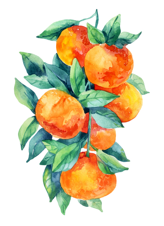 Watercolor mandarine orange fruit branch with leaves isolated on white background. Orange citrus tree. Mandarin branch. Tangerine branch with leaves. Hand painted illustration