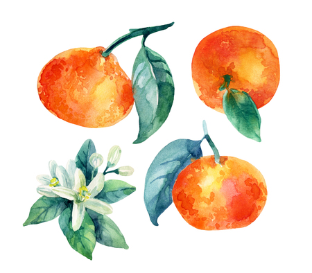 Watercolor mandarine orange fruit set with leaves and blossom isolated on white background. Orange citrus tree. Mandarin bloom. Tangerine with leaves, branch, flower. Hand painted illustration