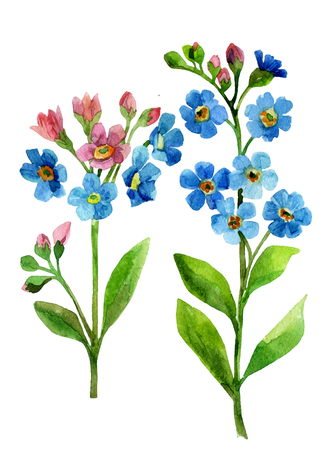 Watercolor blue flower. Forget me not hand painted illustration Stock Photo