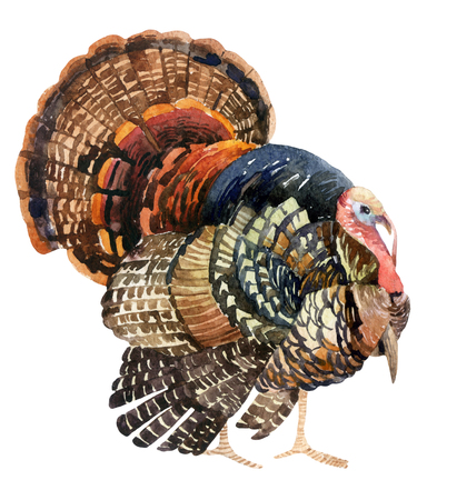 Turkey bird illustration. Watercolor turkey isolated on the white background