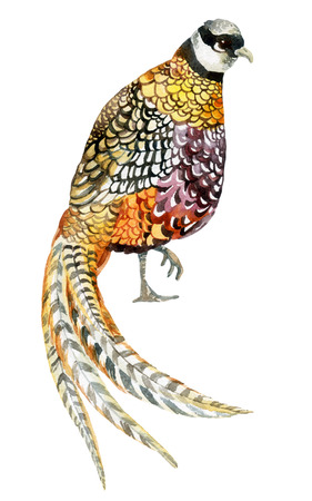Watercolor Reeves pheasant. Hand painted illustration Stock Photo