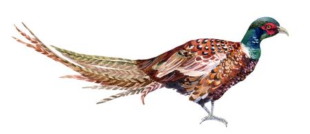Watercolor Swinhoe pheasant. Hand painted illustration