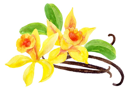 Vanilla flowers and pods, hand painted watercolor illustration