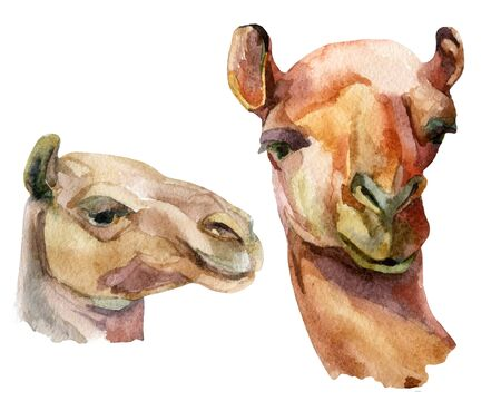 wash: Watercolor camel illustration Stock Photo